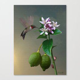 Lemon Tree and Hummingbird Canvas Print