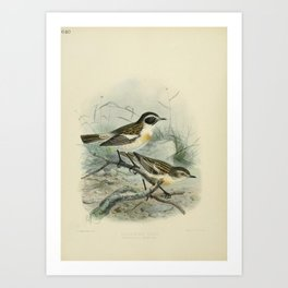 Vintage Print - A History of the Birds of Europe (1881) - 640 Canarian Chat Art Print
