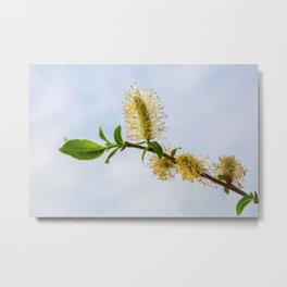Spring willow branch Metal Print