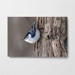 Upside Down Nuthatch Metal Print