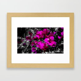 Hot pink bougainvillea photograph over monochrome background Framed Art Print