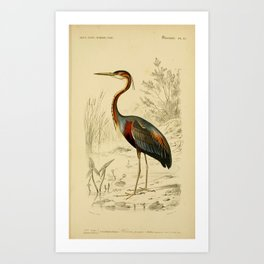 D'Orbigny - Universal Dictionary of Natural History; Birds (1849): 15 Purple Heron Art Print
