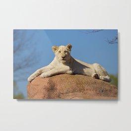 White Lioness Cub Metal Print