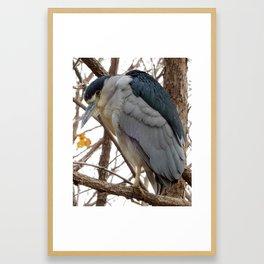 Black-Crowned Night Heron Framed Art Print