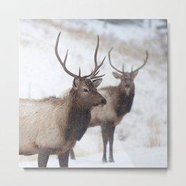 Watercolor Elk Juvenile 19, Estes Park, Colorado, Winter Paws Metal Print