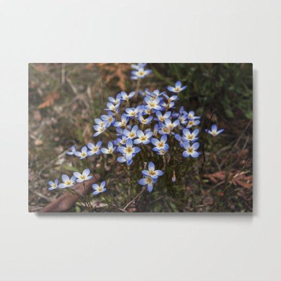 Wild Flowers Bluets Metal Print