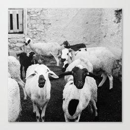 Sheep in Morrocan desert (black & white) Canvas Print
