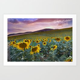 Wonderful Sunflowers. Pink Sunrise Art Print