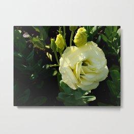 White Rose Metal Print