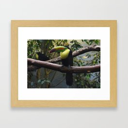 National Aviary - Pittsburgh - Keel Billed Toucan 1 Framed Art Print