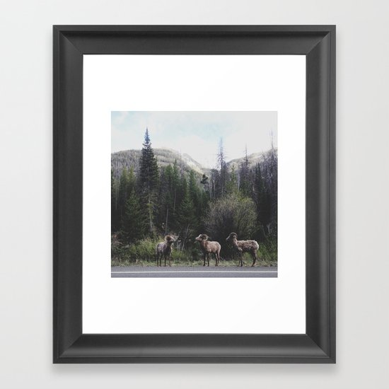 Bighorn Sheep Framed Art Print
