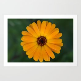 Marigold flower 4 Art Print