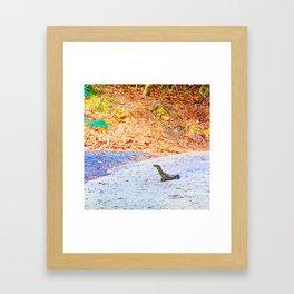 Goanna on a road in Australia Framed Art Print