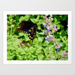 Pipevine Swallowtail Butterfly 2 Art Print