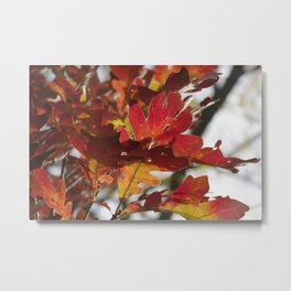 Oak Glow - Autumn Colors Metal Print