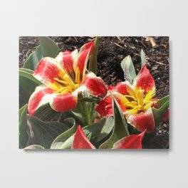 Tulips, Red and Yellow Striped Metal Print