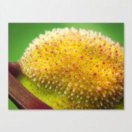 Macro shot of canna indica fruit Canvas Print