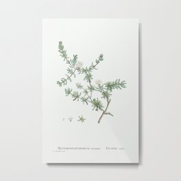 Mesembryanthemum Striatum from Histoire des Plantes Grasses (1799) by Pierre-Joseph Redouté. Metal Print