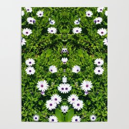 Cape Daisies Poster