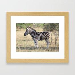 African Zebra in the Wild Framed Art Print