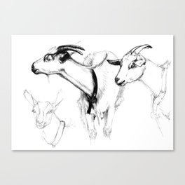 goats sk124 Canvas Print