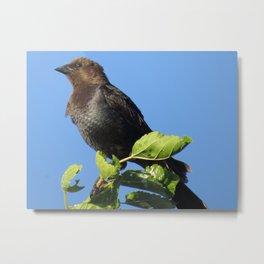 Lewiston Park, Brownheaded Cowbird Metal Print