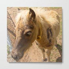 Portrait of a young miniature horse Metal Print