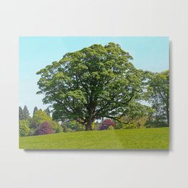 Sycamore Tree Metal Print