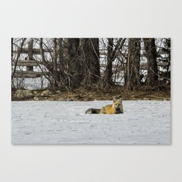 Beautiful Red Fox - No. 3 Canvas Print