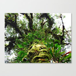 epiphyte tree in a cloud forest Canvas Print