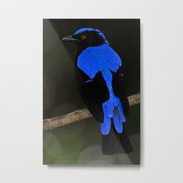 Asian Fairy-bluebird (Male) Metal Print