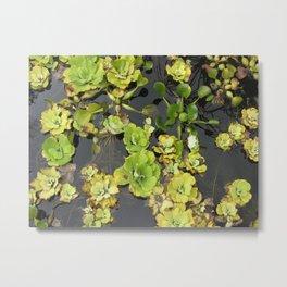 water lettuce Metal Print