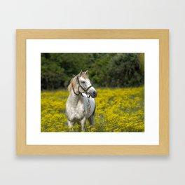 Gray Horse in a Field of Yellow Mustard Framed Art Print