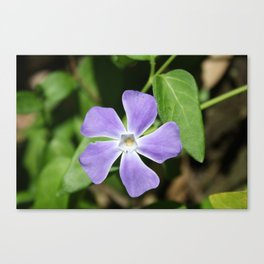 Lilac Periwinkle Canvas Print