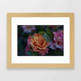 Sherbet Rose Framed Art Print