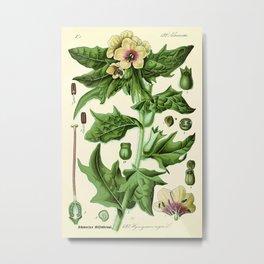 hyoscyamus niger (black henbane or stinking nightshade) - Vintage botanical illustration Metal Print