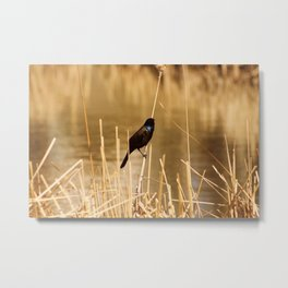 Common Grackle on Marsh Grass Metal Print