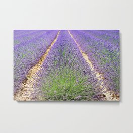 Rows of Lavender Metal Print