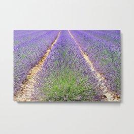 Rows of Lavender Metal Print
