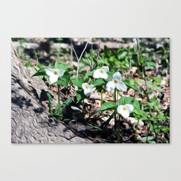Stand of Trilliums Canvas Print