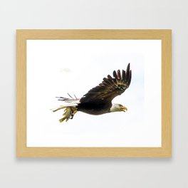 Bald eagle with a crappie Framed Art Print