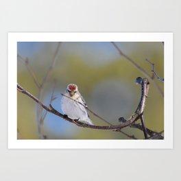 Posing Common Redpoll Art Print