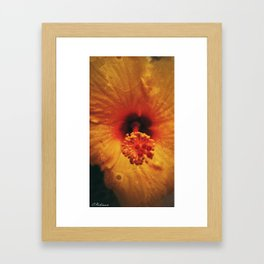 Hibiscus in bloom Framed Art Print