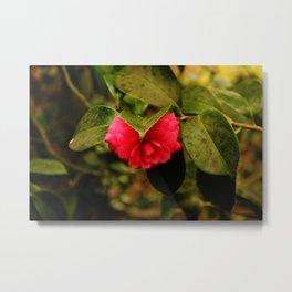 Early Pink Flower Blooms as Snow Flake settles on top Metal Print