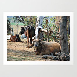 India Cows and Bull Art Print