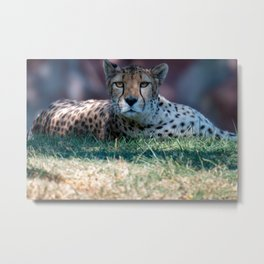 Cheetah laying in grass staring at camera Metal Print