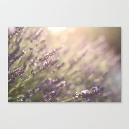 Lavender flowers during sunset in Provence, France Canvas Print