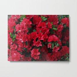 Red Azalea Blooms Metal Print