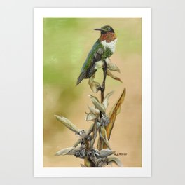 Ruby Throated Hummingbird Study Art Print