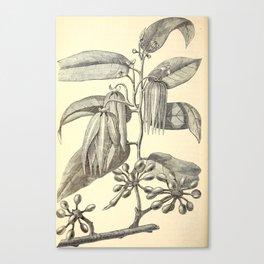 Cananga odorata Canvas Print